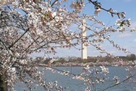 The Power of Women Blooms Behind WDC Cherry Blossom